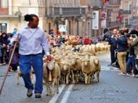 马德里牧羊节 浩荡羊群逛大街