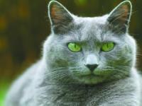 俄罗斯蓝猫,一副高冷范儿